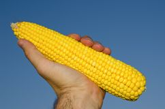Golden maize in hand Stock Photos