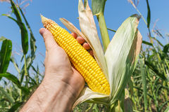 Golden maize in hand Royalty Free Stock Image