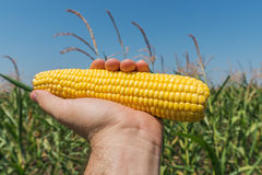 Golden maize in hand over field Stock Image