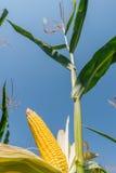 Golden maize on stem Stock Photos