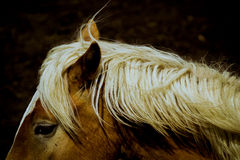 Icelandic horse golden mane. Details of a golden mane of a icelandic horse breed royalty free stock image
