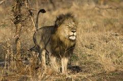 Golden mane lion. Lion in bushveld in Kruger Park Royalty Free Stock Photo