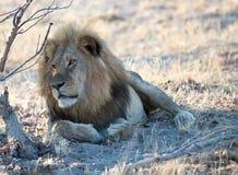 Golden Maned Lion - shading under a bush in Hwange National Park royalty free stock photo