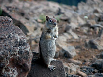 Golden Mantel Ground Squirrel Royalty Free Stock Photos