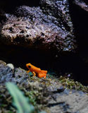 Golden Mantella Frog Stock Photo
