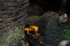 Golden mantella frog of Madagascar Royalty Free Stock Photos