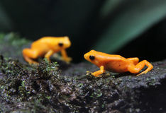 Free Golden Mantella Frogs Stock Photos - 23031043