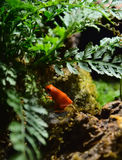 Golden Mantella Frogs Stock Image