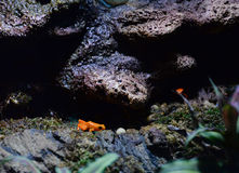 Golden Mantella Frogs Stock Photos