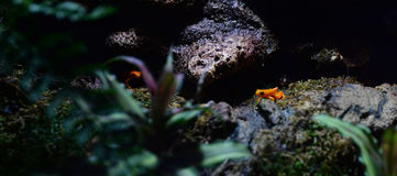 Golden Mantella Frogs Royalty Free Stock Photography