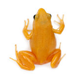 Golden Mantella, Mantella aurantiaca Royalty Free Stock Images