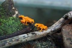 Golden mantella (Mantella aurantiaca). Stock Image