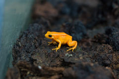 Golden mantella (Mantella aurantiaca). Stock Images