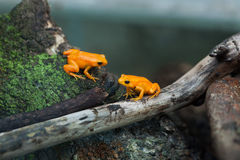 Golden mantella (Mantella aurantiaca). Stock Photography