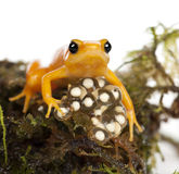 Golden Mantella protecting her eggs Stock Image