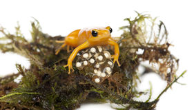 Golden Mantella protecting her eggs Stock Images