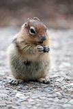 Golden-Mantled Ground Squirrel Royalty Free Stock Photos