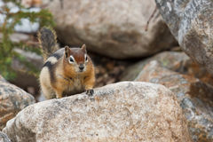 Golden-mantled Ground Squirrel Stock Photography