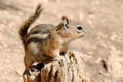 Free Golden-mantled Ground Squirrel Royalty Free Stock Photos - 22944488