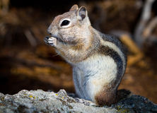Golden Mantled Ground Squirrel Royalty Free Stock Photography