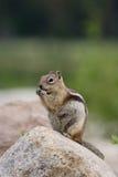 Golden-Mantled Ground Squirrel. A Golden-Mantled Ground Squirrel sitting on a rock stock photo