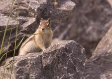 Golden Mantled Ground Squirrel. A Golden Mantled Ground Squirrel on a rock Stock Photo