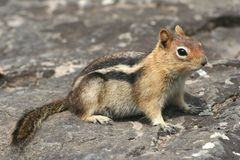 Golden-Mantled Ground Squirrel stock images
