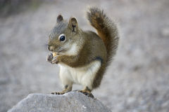 Golden Mantled Ground Squirrel Royalty Free Stock Images