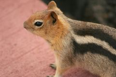 Golden-Mantled Ground Squirrel Royalty Free Stock Photography