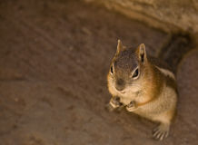 Golden Mantled Ground Squirrel Royalty Free Stock Photo