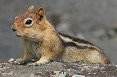 Golden-Mantled Ground Squirrel stock photo