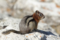 Golden-mantled Ground Squirrel - Banff National Park, Canada Stock Photo