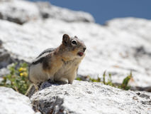 Golden-mantled Ground Squirrel Calling - Alberta, Canada Stock Photo