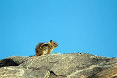 Golden-mantled Ground Squirrel, Callospermophilus Lateralis Royalty Free Stock Photos