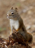 Golden Mantled Ground Squirrel - Callospermophilus Lateralis Royalty Free Stock Image