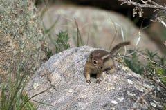 Golden-mantled Ground Squirrel, Callospermophilus lateralis Stock Photos