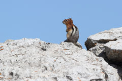 Golden-mantled Ground Squirrel Royalty Free Stock Photo