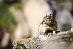 Golden-mantled Ground Squirrel ( Callospermophilus lateralis) Royalty Free Stock Photo