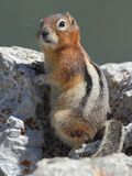 Golden-mantled Ground Squirrel Stock Photos