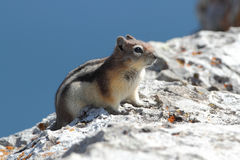 Golden-mantled Ground Squirrel Royalty Free Stock Image