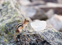 Golden Mantled Ground Squirrel stock images