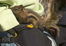 Golden-Mantled Ground Squirrel Stock Photos