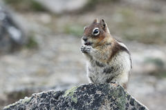 Golden-mantled Ground Squirrel - Jasper National Park Royalty Free Stock Photography