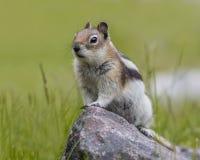 Golden-mantled Ground Squirrel - Jasper National Park Royalty Free Stock Images