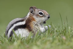 Golden-mantled Ground Squirrel - Jasper National Park, Canada Royalty Free Stock Photo