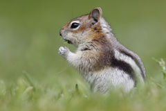 Golden-mantled Ground Squirrel - Jasper National Park, Canada Stock Photography