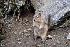 Golden-mantled ground squirrel. Stock Image