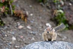 Golden-mantled ground squirrel. Royalty Free Stock Images
