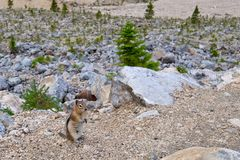 Golden-mantled ground squirrel. Royalty Free Stock Image