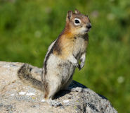 Golden-mantled Ground Squirrel in Jasper National Park Stock Photography